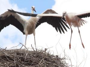 Storch Umsiedlung