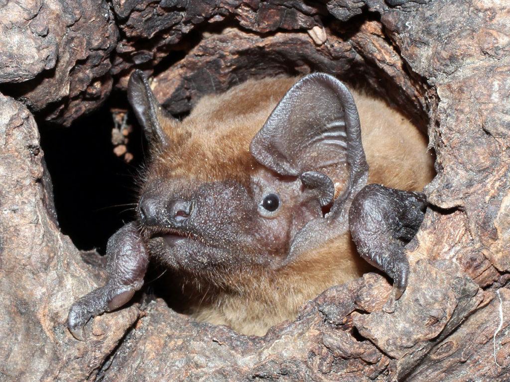 Eröffnung des Fledermauswegs im Maintal - Abendsegler in Baumhöhle