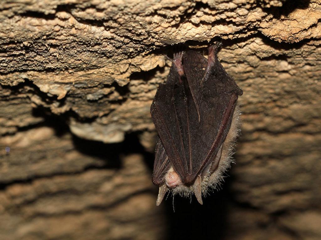 Eröffnung des Fledermauswegs im Maintal - Braunes Langohr in Höhle