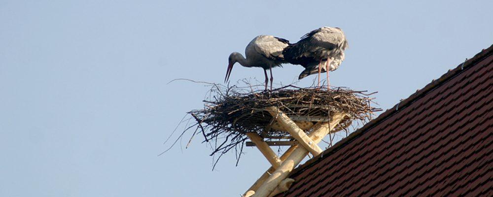 Storchenpaar erfolgreich umgesiedelt