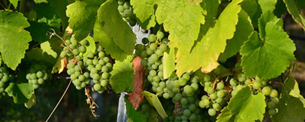 Gleich zwei Weinfeste auf dem Michaelsberg