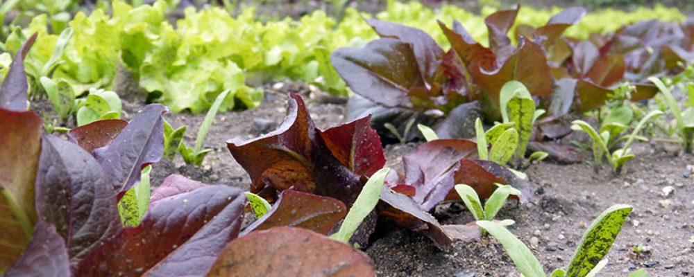 Sortenvielfalt im Museumsgarten