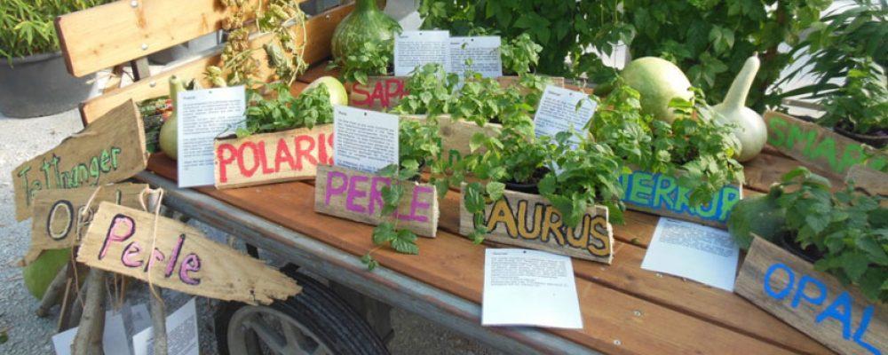 Hopfenanbau in Bamberg – eine Tradition kehrt zurück