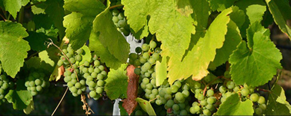 Auf zum jungen Wein